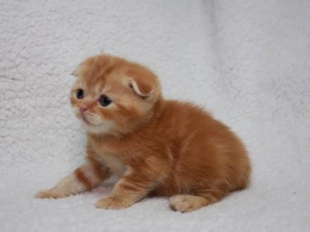 Шотландский котёнок медвежульного типа ). Киев. фото 1