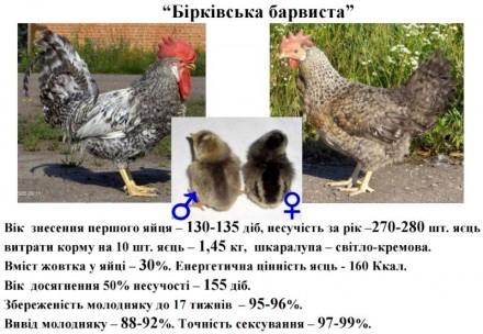 Бiркiвська барвиста порода курей. Полтава. фото 1