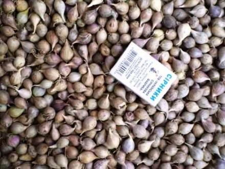 Продам семена чеснока, однозубку, воздушку. Тальное. фото 1