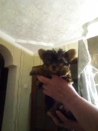 Продаются щенки. Мариуполь. фото 1