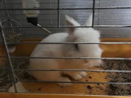 Продаю миленького кролика. Киево-Святошинский. фото 1