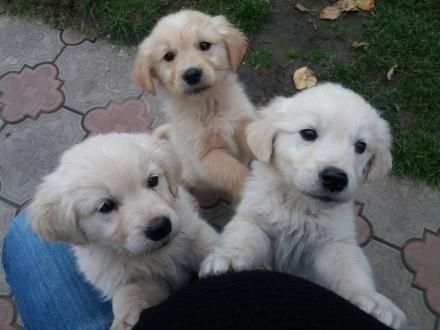 Продам щенков золотистого ретривера. Тростянец. фото 1