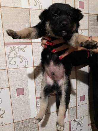 Отдам щенков в хорошие руки бесплатно. Кривой Рог. фото 1