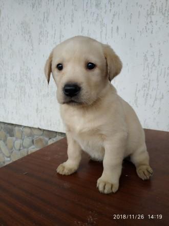 цуценя лабрадор ретривер щеня. Яворов. фото 1