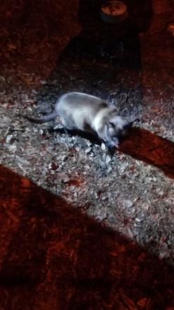 отдам ЧИСТОПОРОДНОГО  СИАМСКОГО кота. Чернигов. фото 1