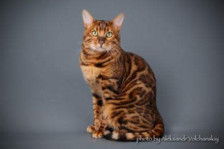 Бенгальський кіт. Винница. фото 1