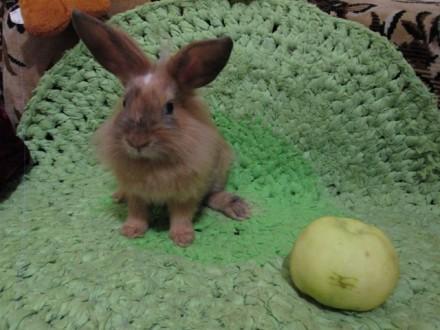 Декоративный карликовый кролик (Луч). Киев. фото 1