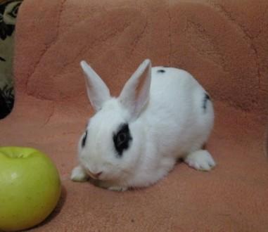 Декоративный карликовый кролик (Веня). Киев. фото 1