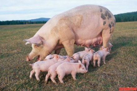 Свинное мясо - забитая туша. Васильков. фото 1