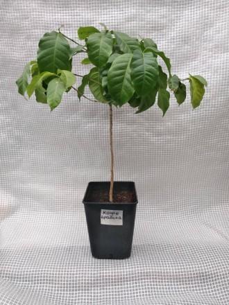Кофейное дерево аравийское (Coffea arabica) Кофейное дерево отлично растёт в до. Киев, Киевская область. фото 8