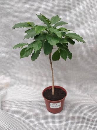 Кофейное дерево аравийское (Coffea arabica) Кофейное дерево отлично растёт в до. Киев, Киевская область. фото 7