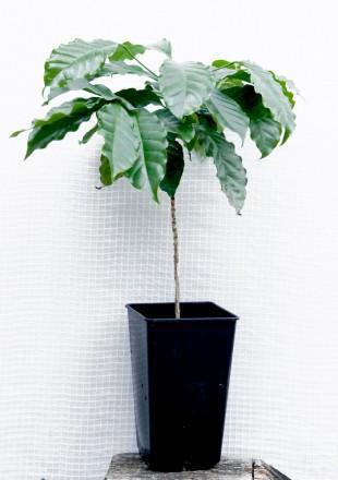 Кофейное дерево аравийское (Coffea arabica) Кофейное дерево отлично растёт в до. Киев, Киевская область. фото 3