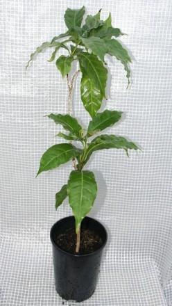 Кофейное дерево аравийское (Coffea arabica) Кофейное дерево отлично растёт в до. Киев, Киевская область. фото 5
