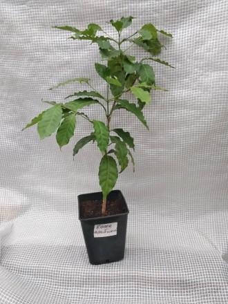 Кофейное дерево аравийское (Coffea arabica) Кофейное дерево отлично растёт в до. Киев, Киевская область. фото 6