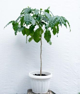Кофейное дерево аравийское (Coffea arabica) Кофейное дерево отлично растёт в до. Киев, Киевская область. фото 4