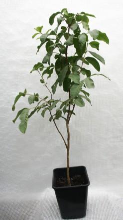 Гуаява (Psidium guajava), род миртовых. Растение быстрорастущее. Цвести и плодон. Киев, Киевская область. фото 8