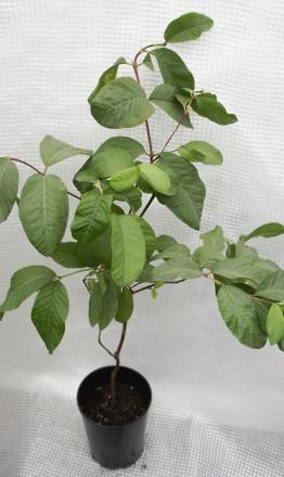 Гуаява (Psidium guajava), род миртовых. Растение быстрорастущее. Цвести и плодон. Киев, Киевская область. фото 10