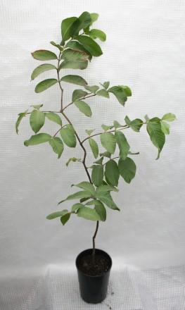 Гуаява (Psidium guajava), род миртовых. Растение быстрорастущее. Цвести и плодон. Киев, Киевская область. фото 9