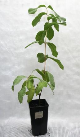 Гуаява (Psidium guajava), род миртовых. Растение быстрорастущее. Цвести и плодон. Киев, Киевская область. фото 7