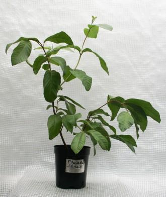 Гуаява (Psidium guajava), род миртовых. Растение быстрорастущее. Цвести и плодон. Киев, Киевская область. фото 6