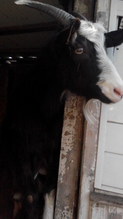 Срочно! Продам взрослых коз уже оплодотворенных. Запорожье. фото 1