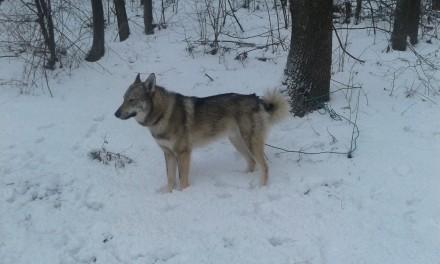 Продам гибрид второго поколения волка и ЗСЛ. Сребное. фото 1