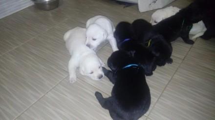 Лабрадор ретривер милые щенки. Чернигов. фото 1