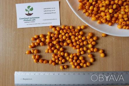 Облепиха (сентябрьская) семена (10 штук) для выращивания саженцев обліпиха