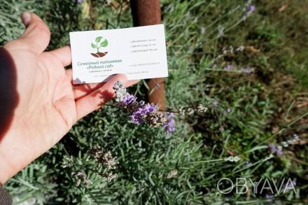 Лаванда настоящая семена (10 шт) леванда, лавенда, цветная трава насіння