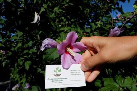 Гибискус древовидный семена (10 штук) для выращивания саженцев,садовый сиреневый. Бердянск. фото 1