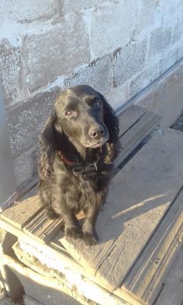 Подрощенные щенки спаниеля.. Мариуполь. фото 1