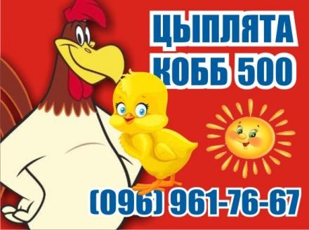 Супер Цыплята бройлер. КОББ 500. Вышгород. фото 1