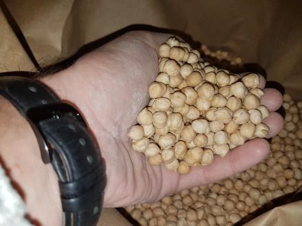 Семена нута HOPE Канадский ярый трансгенный сорт (элита). Одеса. фото 1