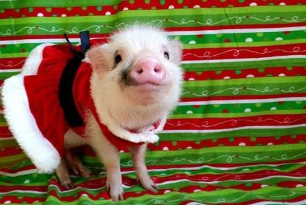 Новогодняя свинка Аренда свиньи на Новый. Харьков. фото 1
