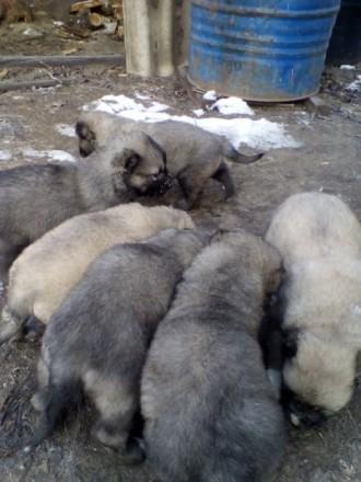 Малыши Кавказской овчарки. Одесса. фото 1