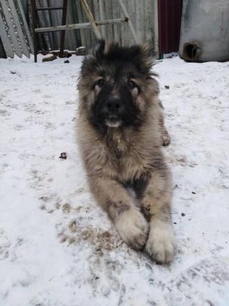 Кавказская овчарка. Полтава. фото 1