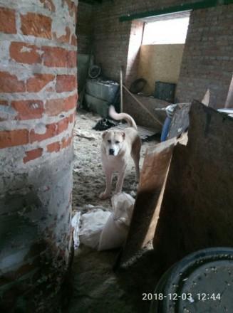 Продам щенка КВ (девочка). Харьков. фото 1
