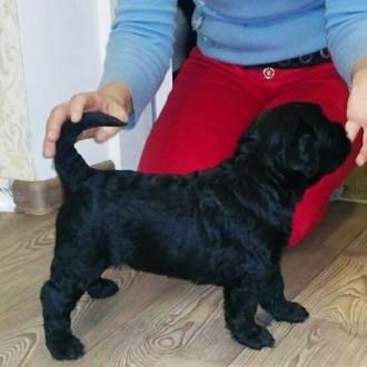 Продам щенков Ризеншнауцера. Кропивницкий. фото 1