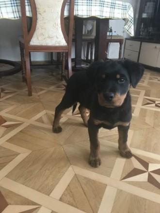 Продам щенка ротвейлера родился 27.09.2018 щенок крупный,активный красивой расцв. Киев, Киевская область. фото 6