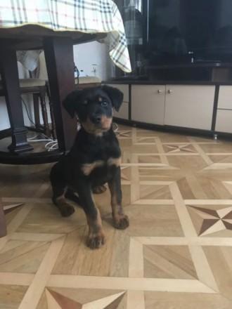 Продам щенка ротвейлера родился 27.09.2018 щенок крупный,активный красивой расцв. Киев, Киевская область. фото 4