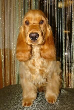 Английский кокер спаниель щенок. Киев. фото 1