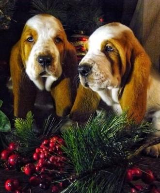 Продам щенят !Отличный подарок к новому году !!. Киев. фото 1