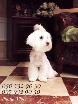 Подрощенный щенок мальтезе. Киев. фото 1