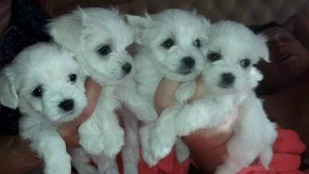 Мальтийская болонка -щенки. Киев. фото 1