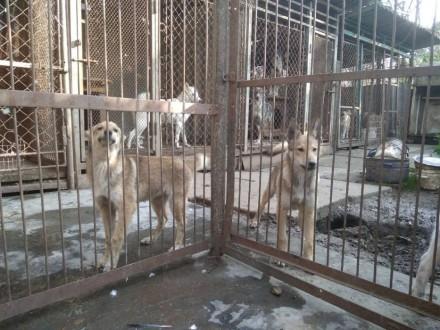 Щенок західно сибірської лайки, собака,. Борислав. фото 1
