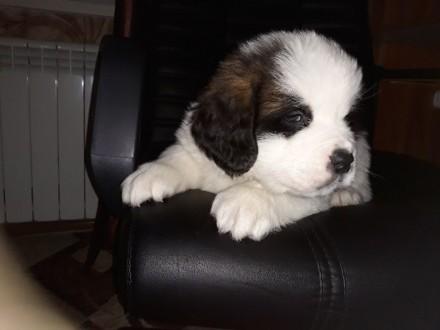 Сенбернар, красивые щенки. Николаев. фото 1