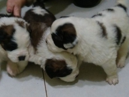 Продам щенки сенбернара. Ужгород. фото 1
