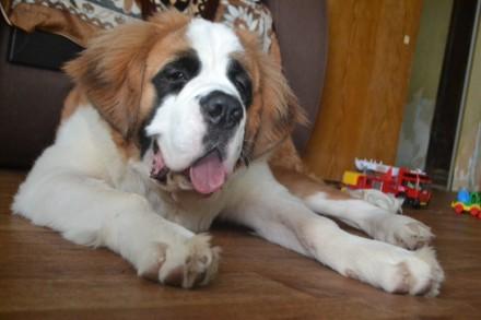 Продам подрощеного щенка сенбернара. Смела. фото 1