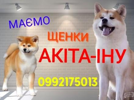 Акіта іну щенки. Черновцы. фото 1