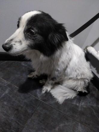 Взрослая собака Яся ищет семью, стерилизована, привита, частный дом можно на цеп. Киево-Святошинский. фото 1